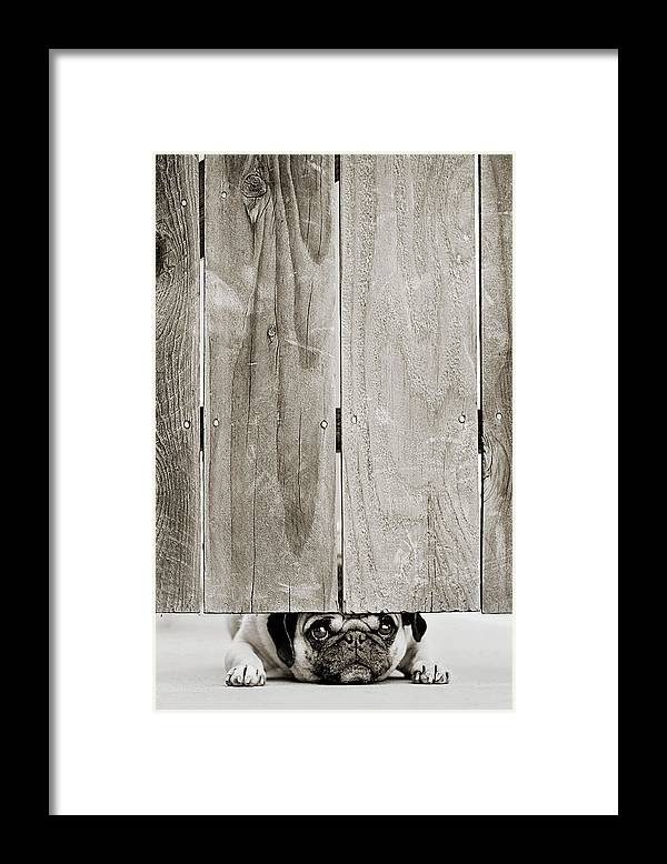 Pets Framed Print featuring the photograph Pug Face by Aaryn James