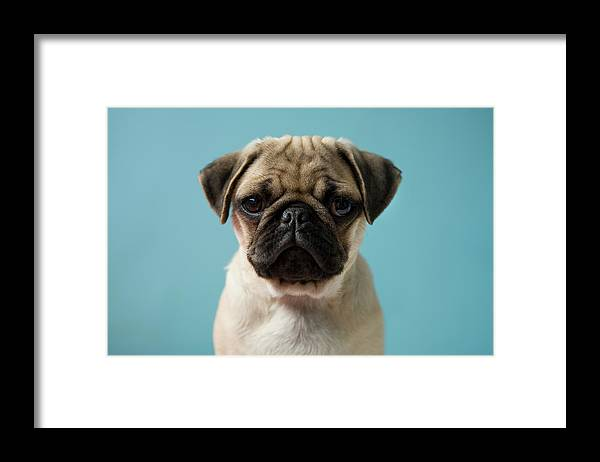Pets Framed Print featuring the photograph Pug Puppy Against Blue Background by Reggie Casagrande