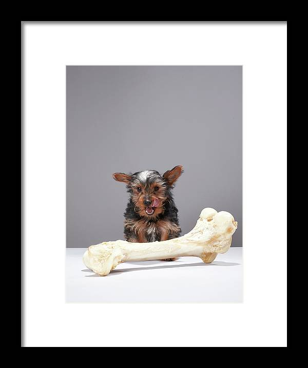 Pets Framed Print featuring the photograph Puppy With Oversized Bone by Martin Poole
