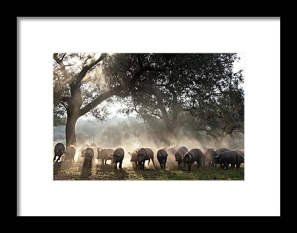 Dawn Framed Print featuring the photograph Pure Iberian Pigs Feed On Grasslands At by Diego Lezama