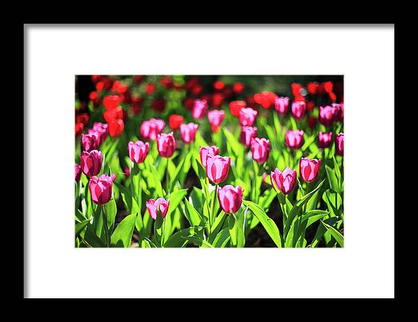 Taiwan Framed Print featuring the photograph Purple And Red Tulips Under Sun Light by Samyaoo