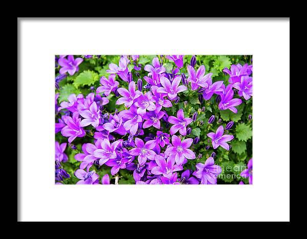 Dublin Framed Print featuring the photograph Purple Campanula by Bob Phillips