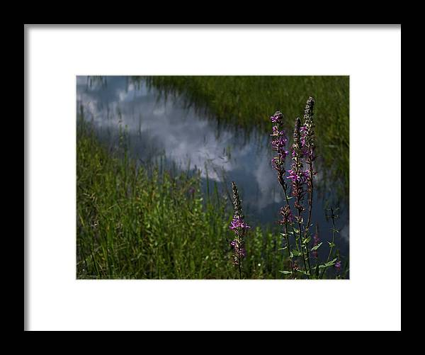 Purple Loosestrife Framed Print featuring the photograph Purple Daydream by Jerry LoFaro