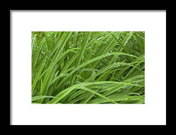 Tranquility Framed Print featuring the photograph Raindrops Of Daylily Foliage by Adam Jones