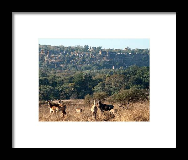 Ranthambore National Park Framed Print featuring the photograph Ranthambore Fort by Chaithanya Krishna Photography