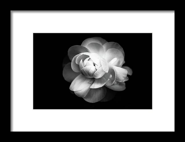 Black Background Framed Print featuring the photograph Ranunculus Flower by Annfrau