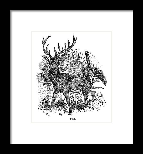 Engraving Framed Print featuring the digital art Red Deer Stag Engraving by Nnehring