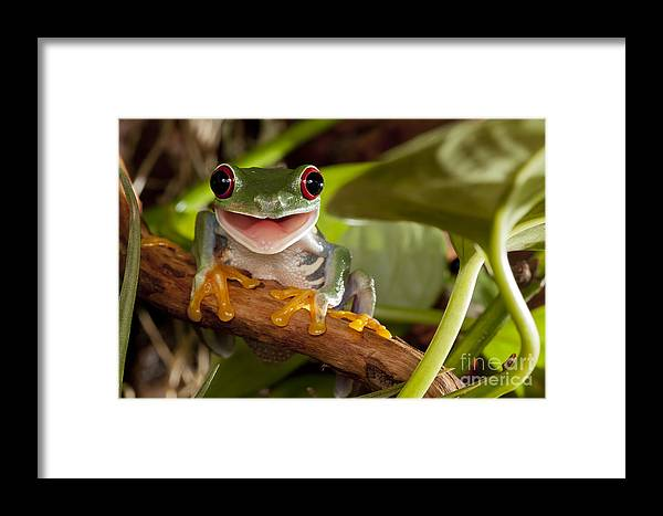 Forest Framed Print featuring the photograph Red-eyed Tree Frog Smile by Linas T