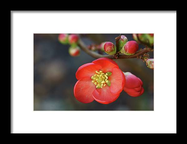 Bud Framed Print featuring the photograph Red Flowering Quince by Picture By La-ong
