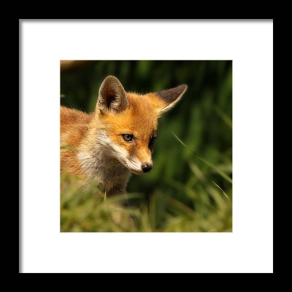 Alertness Framed Print featuring the photograph Red Fox Cub In The Grass by Chris Jolley