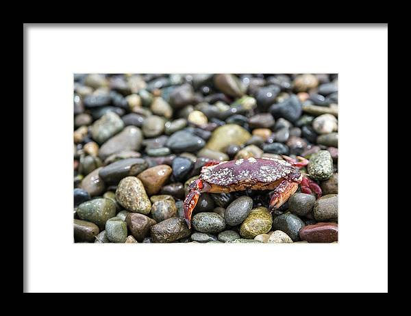 Water's Edge Framed Print featuring the photograph Red Rock Crab On A Pebble Covered Beach by Stevedf