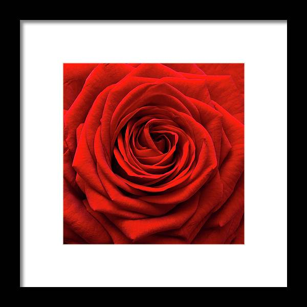 Rose Colored Framed Print featuring the photograph Red Rose by Anthony Dawson