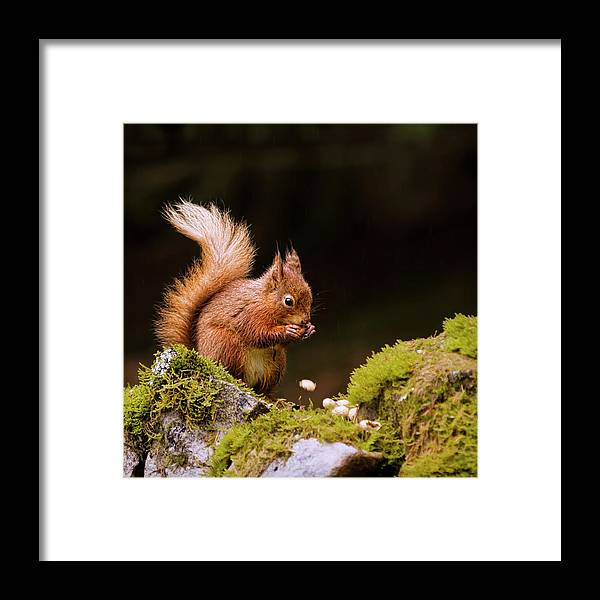 Nut Framed Print featuring the photograph Red Squirrel Eating Nuts by Blackcatphotos