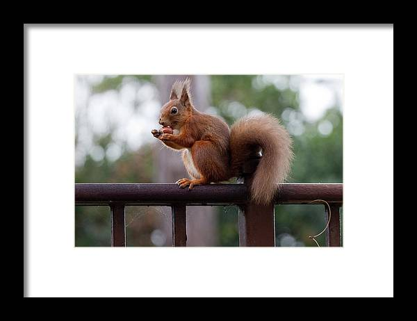 Animal Themes Framed Print featuring the photograph Red Squirrel Getting Ready For Winter by S0ulsurfing - Jason Swain