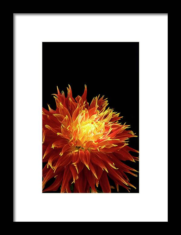 Firework Display Framed Print featuring the photograph Red-yellow Dahlia Flower by Eyepix