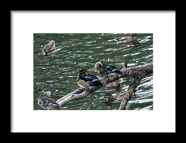 Duck Framed Print featuring the photograph Resting Ducks by Rob Olivo
