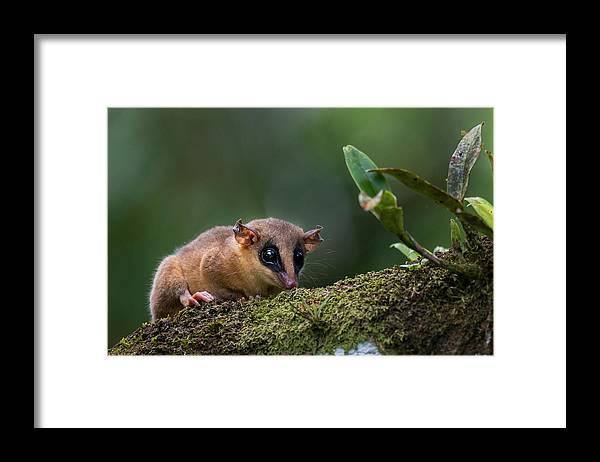 Sebastian Kennerknecht Framed Print featuring the photograph Robinson's Mouse Oppossum by Sebastian Kennerknecht