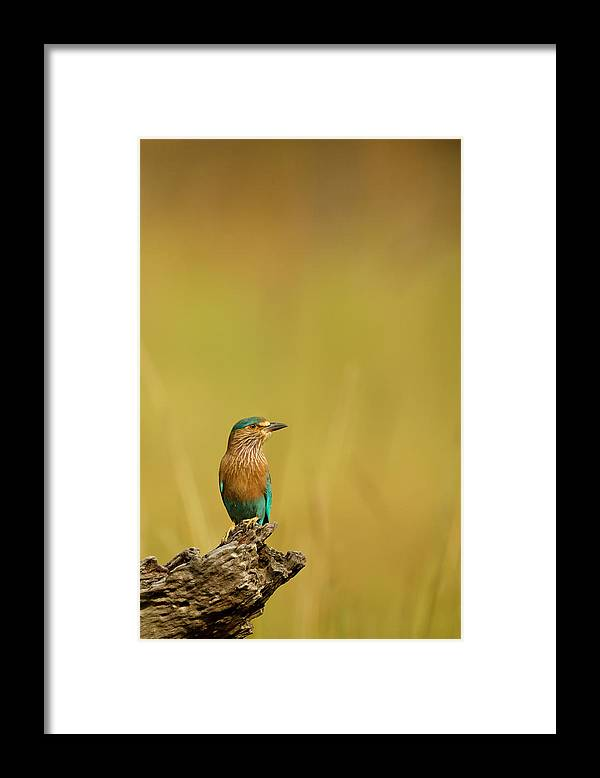 Animal Themes Framed Print featuring the photograph Roller Coracias Benghalensis by Andrew Sproule