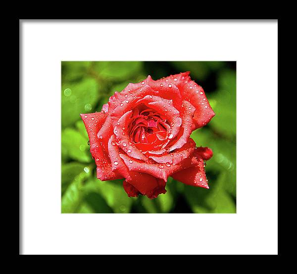 New Delhi Framed Print featuring the photograph Rose With Raindrops by Charlie Joe