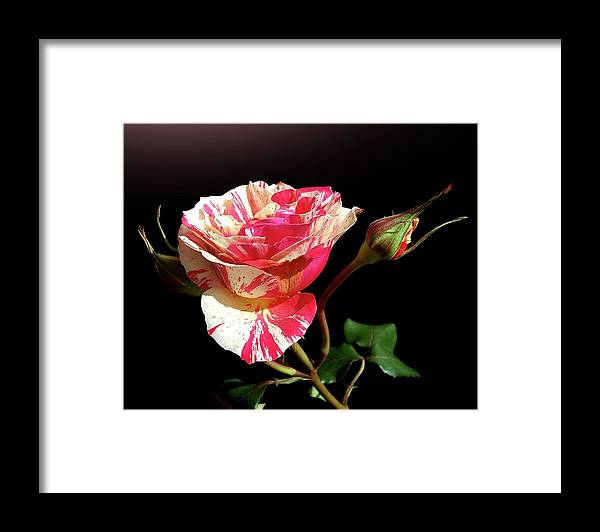 Bud Framed Print featuring the photograph Rose With Two Buds by Gitpix