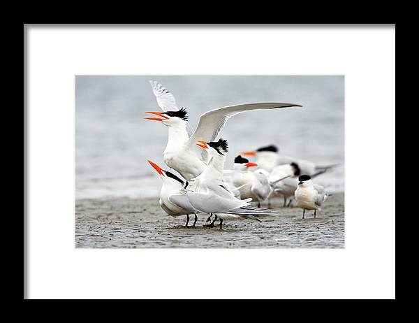 Animal Themes Framed Print featuring the photograph Royal Tern Sterna Maxima Courtship by Danita Delimont