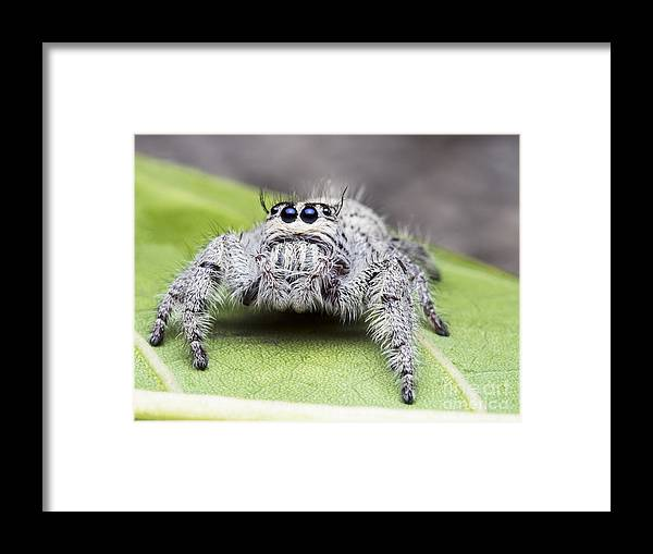 Macro Shots Framed Print featuring the photograph Salticus Scenicus Female Jumping by The Lights Hunter