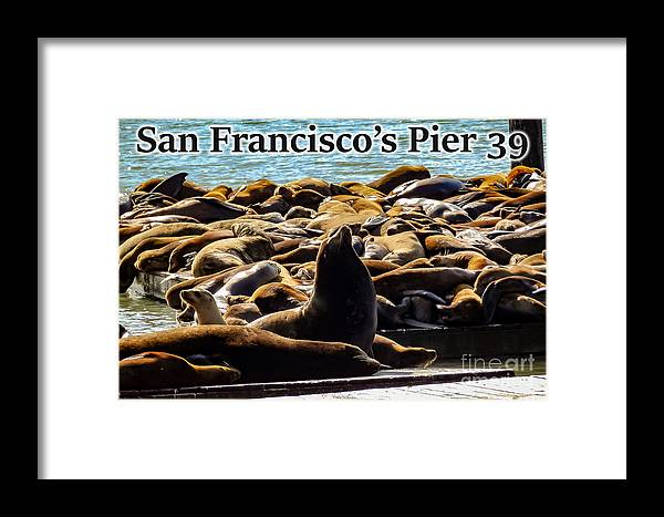 San Francisco Framed Print featuring the photograph San Francisco's Pier 39 Walruses 2 by G Matthew Laughton