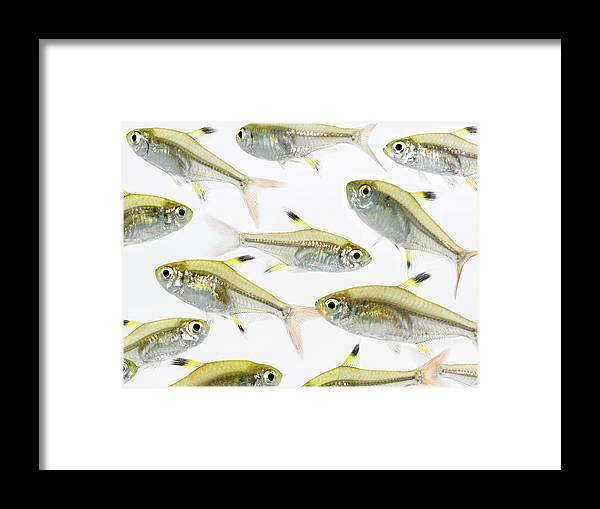 White Background Framed Print featuring the photograph School Of X-ray Tetra Fish Pristella by Don Farrall