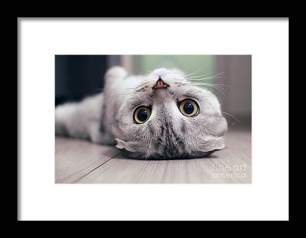 Cat's Framed Print featuring the photograph Scottish Fold Cat Lying On The Back by Zossia