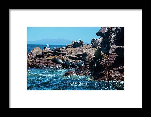 Scenics Framed Print featuring the photograph Sea Lion Colony At Isla Espiritu Santo by Michael Runkel / Robertharding
