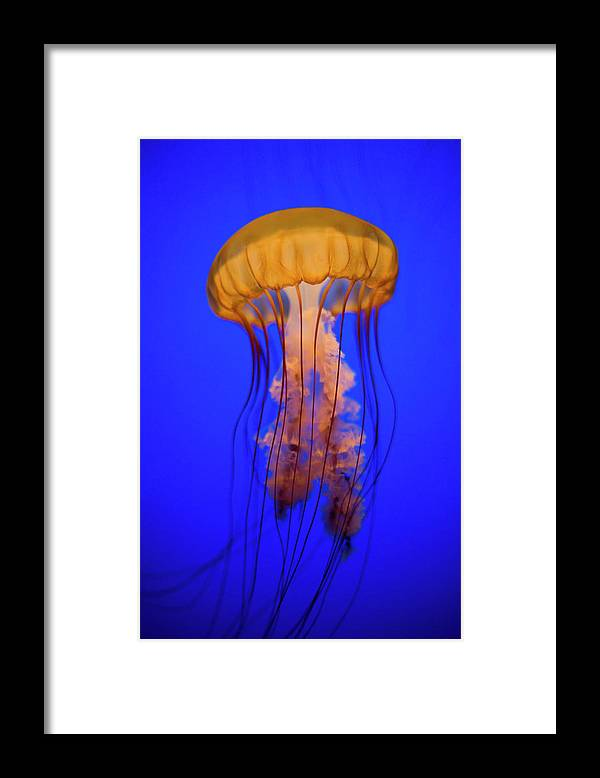 Underwater Framed Print featuring the photograph Sea Nettle Jellyfish Chrysaora by Patrick Strattner