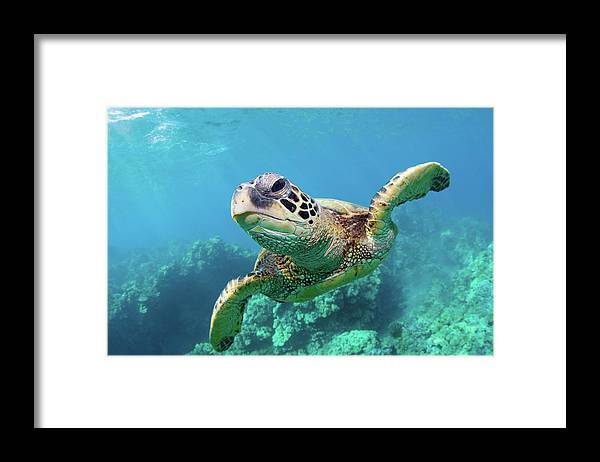 Underwater Framed Print featuring the photograph Sea Turtle, Hawaii by M Swiet Productions