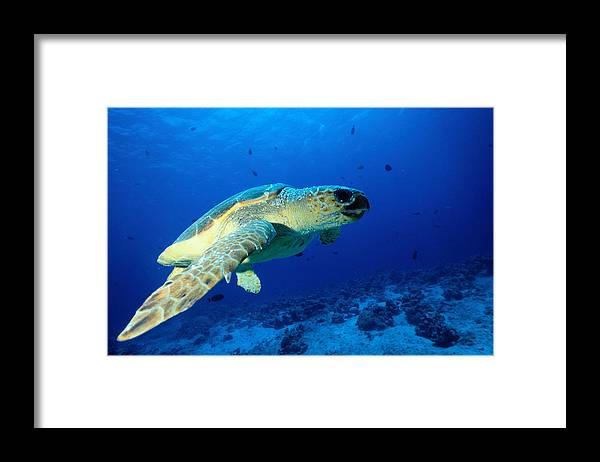 Underwater Framed Print featuring the photograph Sea Turtle by Ken Usami