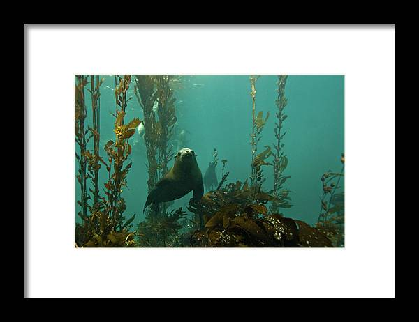 Sea Lion Framed Print featuring the photograph Sealion by Douglas Klug