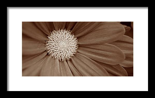 Sepia Flower Panoramic 02 Framed Print featuring the photograph Sepia Flower Panoramic 02 by Tom Quartermaine