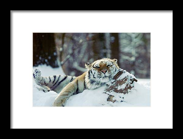 Inch Framed Print featuring the photograph Siberian Tiger At The Bronx Zoo Is by New York Daily News Archive