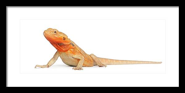 Belgium Framed Print featuring the photograph Silkbacks Scaleless Bearded Dragon by Life On White