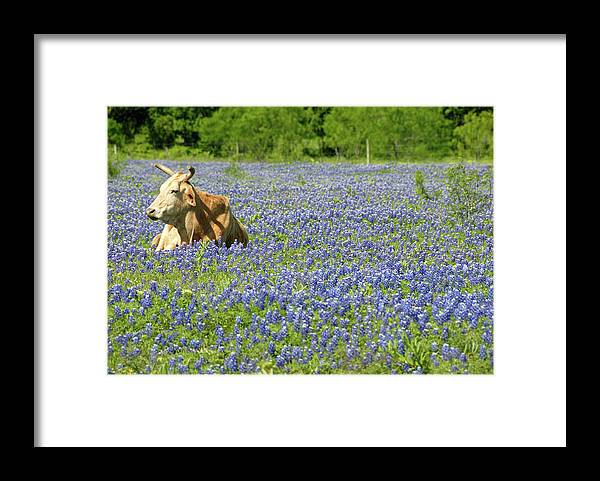 Cow Framed Print featuring the photograph Single Cow Resting In A Field Of Texas by Zview