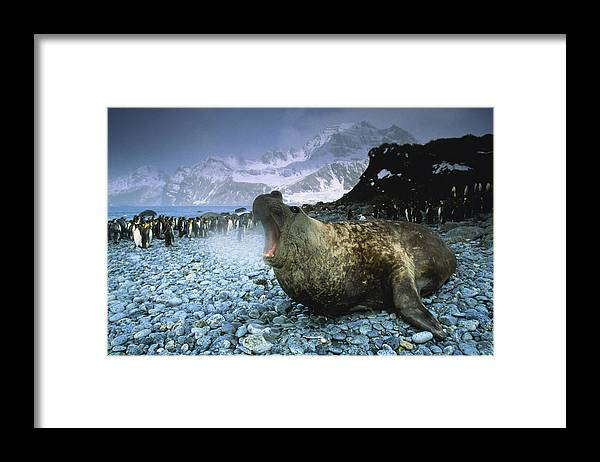 Snow Framed Print featuring the photograph Southern Elephant Seal Mirounga Leonina by Art Wolfe