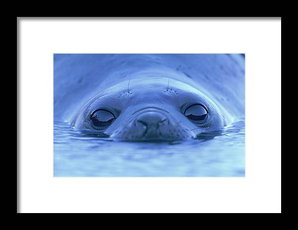 Animal Themes Framed Print featuring the photograph Southern Elephant Seal Mirounga Leonina by Paul Souders