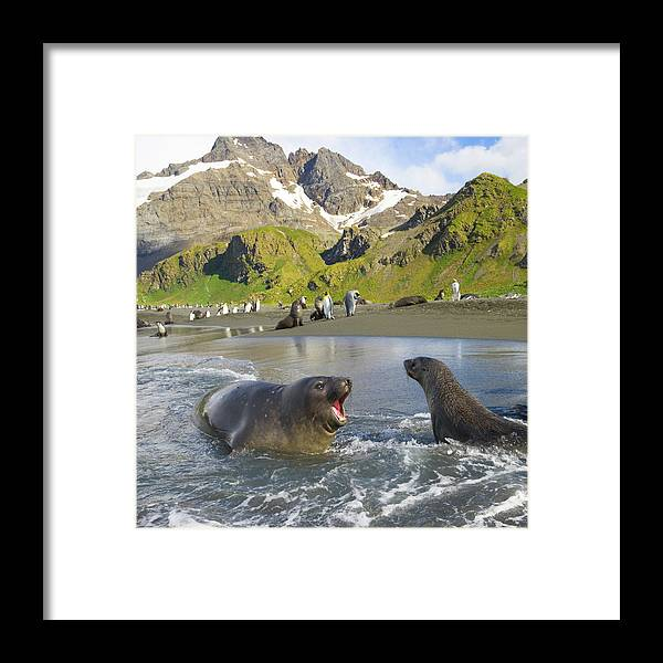 South Georgia Island Framed Print featuring the photograph Southern Elephant Seal Pup Barking At by Eastcott Momatiuk