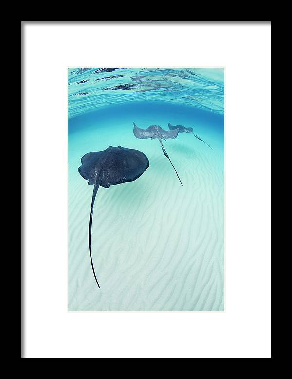 Underwater Framed Print featuring the photograph Southern Stingray Cayman Isalnds by Justin Lewis