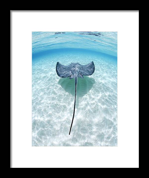 Underwater Framed Print featuring the photograph Southern Stingray Cayman Islands by Justin Lewis