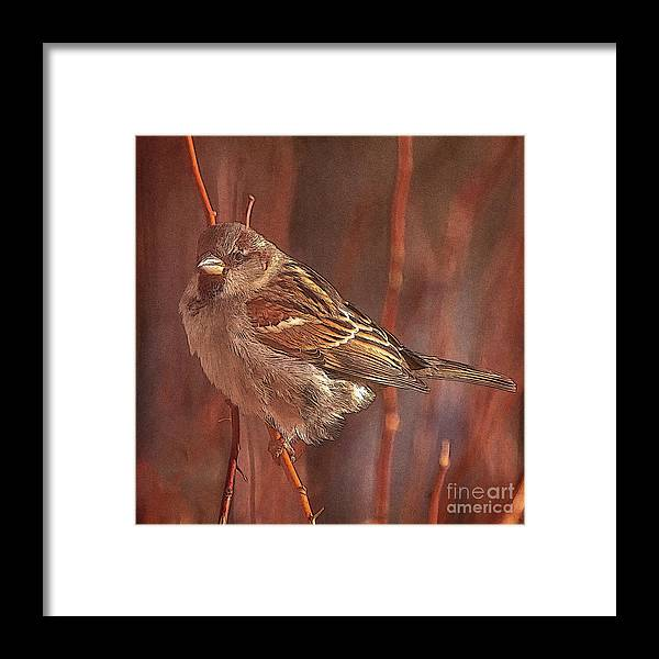 Sparrow Framed Print featuring the photograph Sparrow In The Sunshine by Janice Pariza