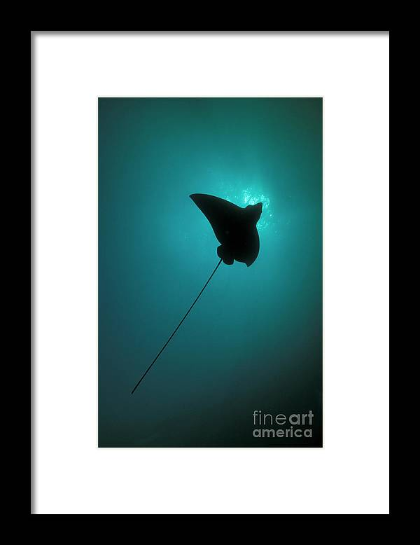 Underwater Framed Print featuring the photograph Spotted Eagle Ray Silhouetted by Steve Jones/stocktrek Images
