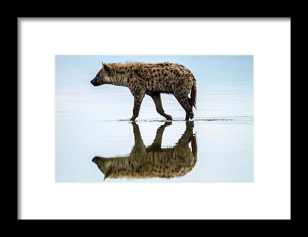 Kenya Framed Print featuring the photograph Spotted Hyena Looking For Weak Flamingos by Manoj Shah