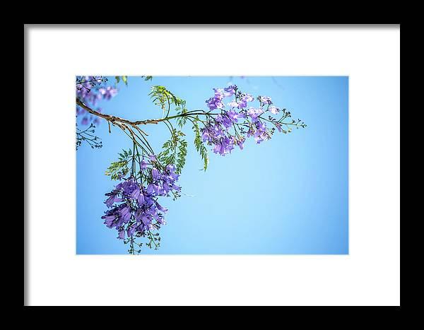 Jacaranda Tree Framed Print featuring the photograph Springtime Beauty by Az Jackson