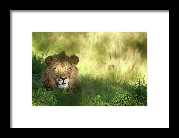 Tropical Rainforest Framed Print featuring the photograph Staring Lion In Field Of Grass With by Jimkruger