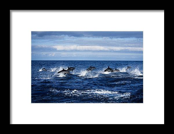 Spray Framed Print featuring the photograph Striped Dolphin,stenella Coeruleoalba by Gerard Soury
