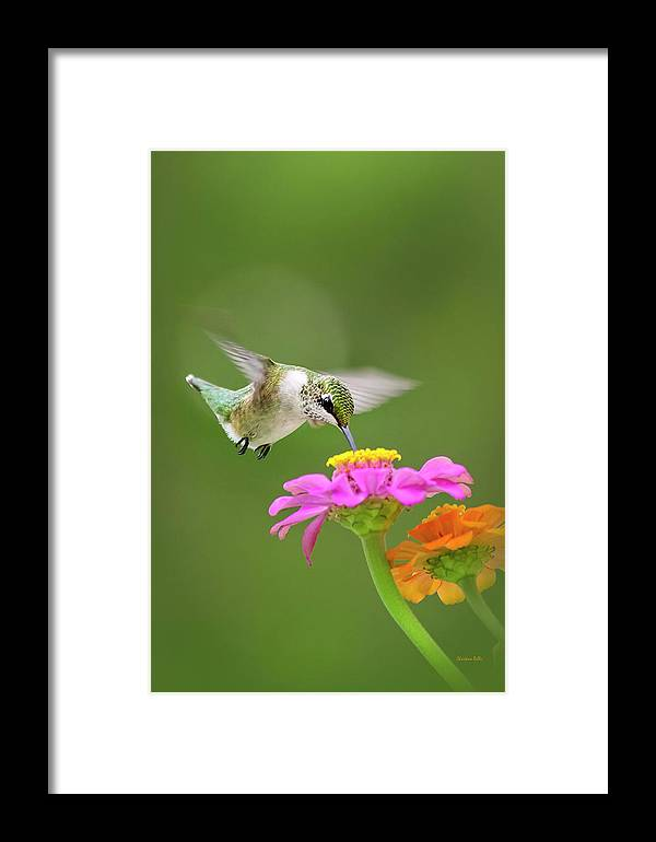 Hummingbird Framed Print featuring the photograph Summer Breeze by Christina Rollo